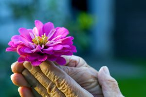 beautiful fresh flower and old wrinkled hands make an opposite to each other
